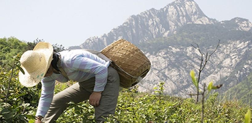 Huangshan Maofeng sau Varful Imblanit al Muntelui Galben
