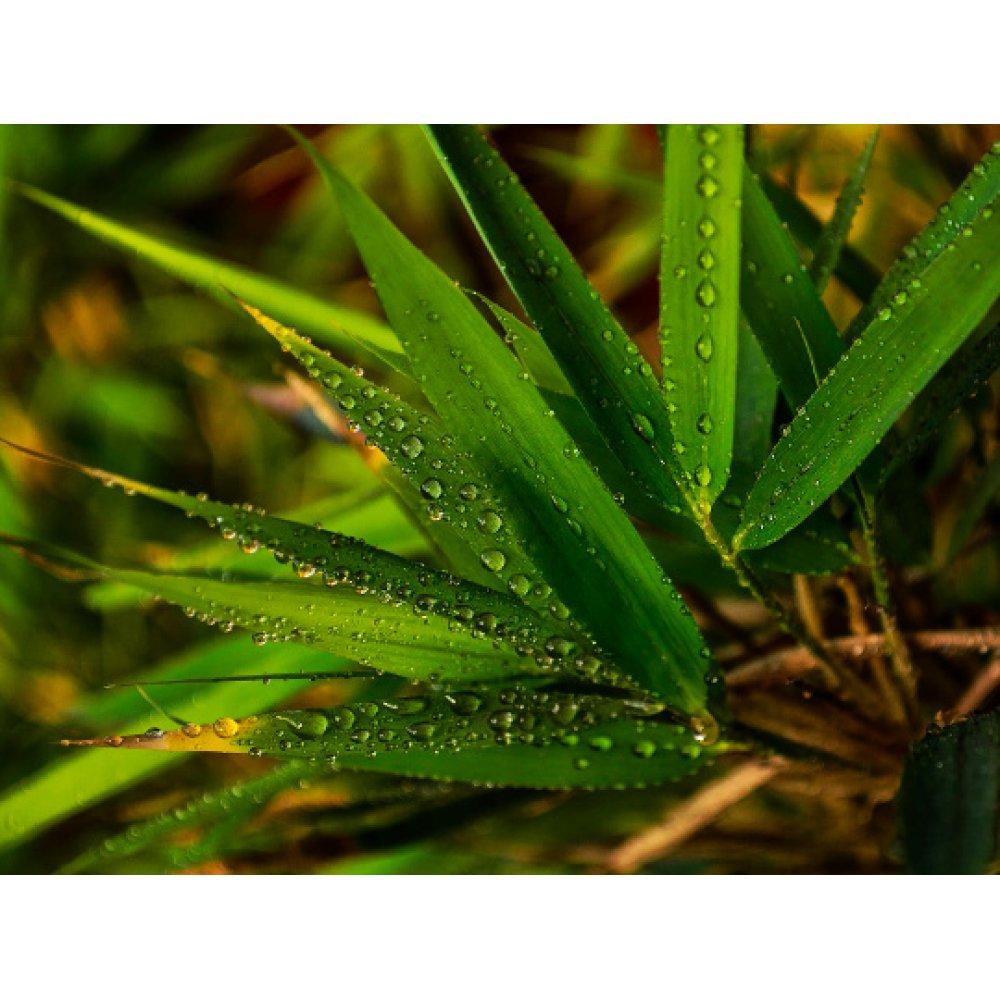 Ceai de plante Frunze de Bambus