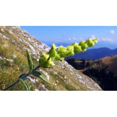 Ceai de plante Muntele Grecesc