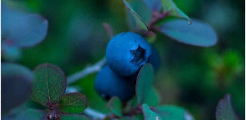 Ceai de afin (frunze) - beneficii si indicatii