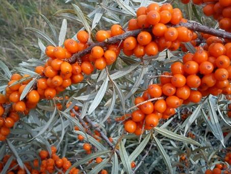 Energie si imunitate la sfarsit de iarna cu ceai verde, catina si goji - Slab sau Gras