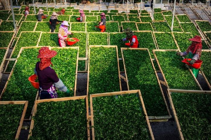 cultivara ceaiului oolong