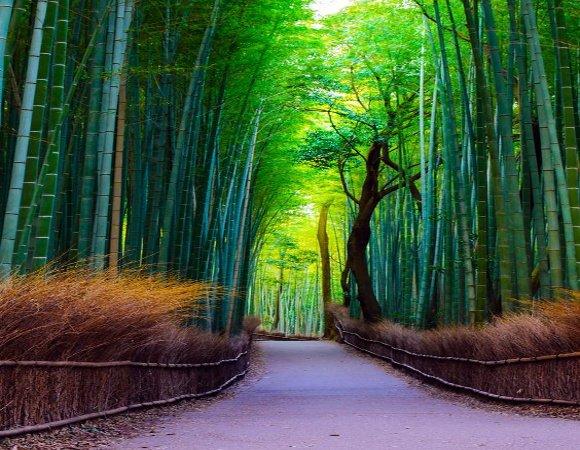 Carare prin padure de bambus