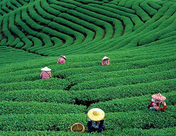 Munte cu plantatii de ceai