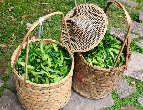 Cosuri de nuiele cu ceai proaspat cules